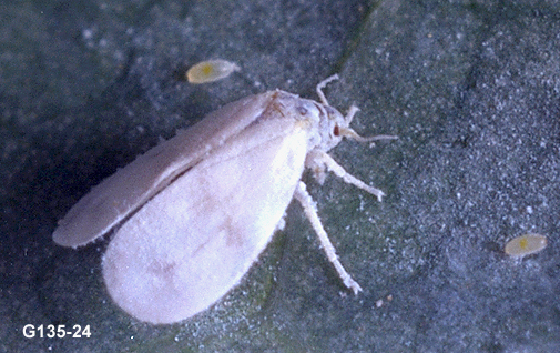Labour. Adult whitefly control