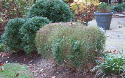 Boxwood Blight defoliation in planter and bush
